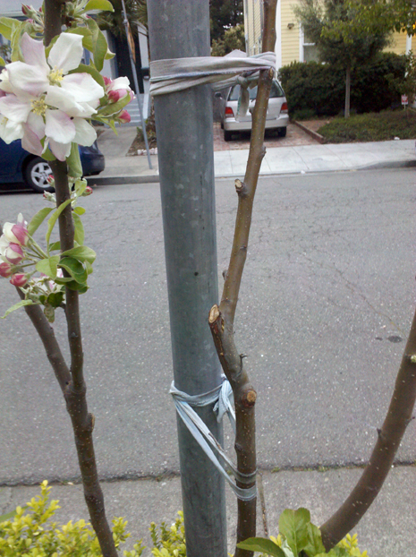 part of a gray tshirt is used to secure a tree to a pole