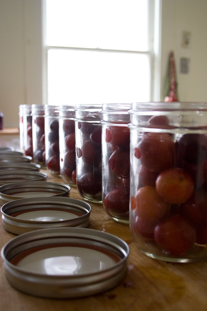 raw plums placed in ball jars for canning