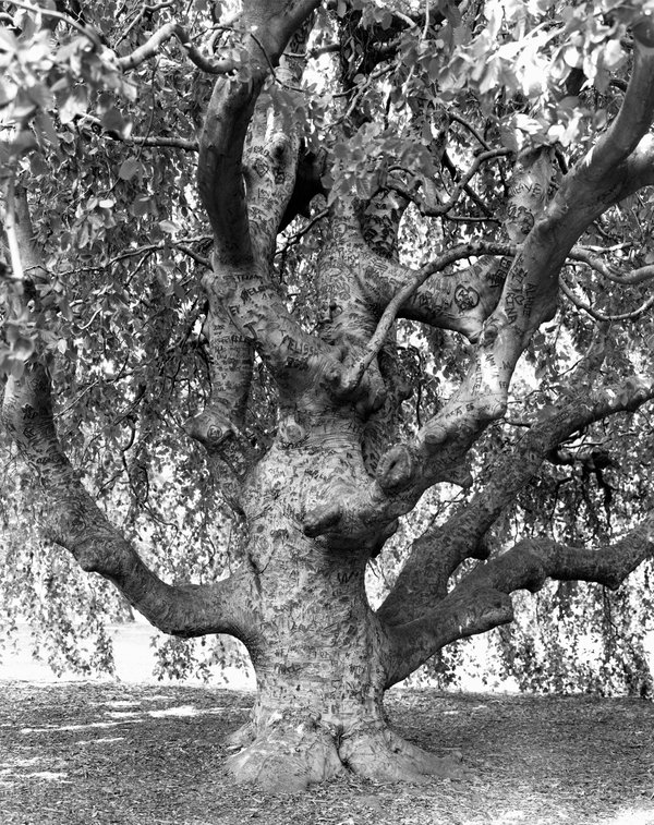 a large and awesomely odd shaped tree